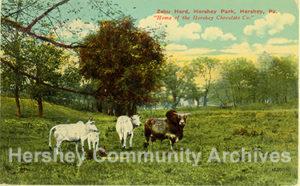 Postcard: Herd of Zebus graze in Hershey Zoo. ca1915