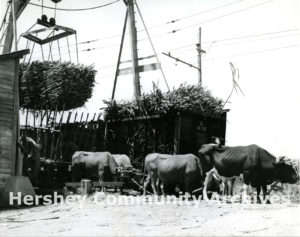 Sugar harvest took place during the winter months. After the cane was cut, ox drawn carts carried it to the Hershey railroad and it was shipped to one of Hershey's five sugar mills, ca. 1920-1945
